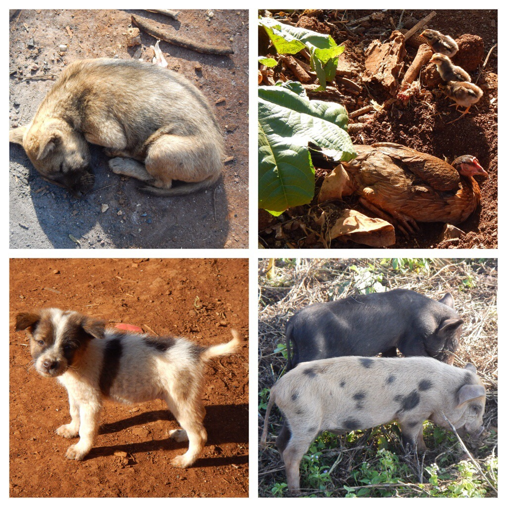 Animals in the village